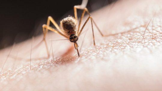 Coronavirus, le zanzare assolte. Non lo trasmettono